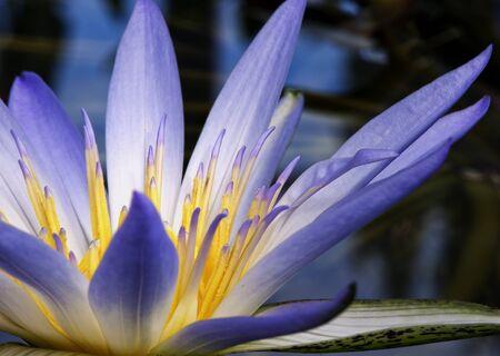 Beautiful purple and yellow Amazon Waterlily Stock Photo - 17692702