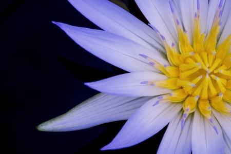 Beautiful Yellow and Purple Amazon Waterlily Stock Photo - 17692665