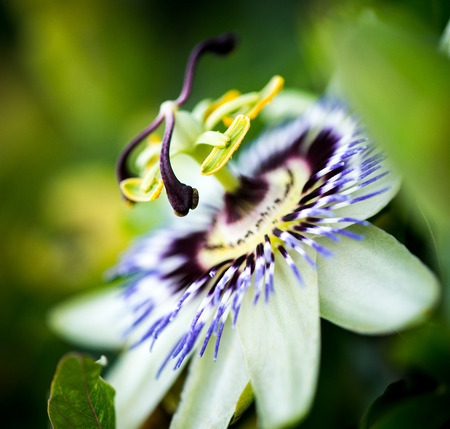 Amazing detail of a beautiful passionfruit flower photo