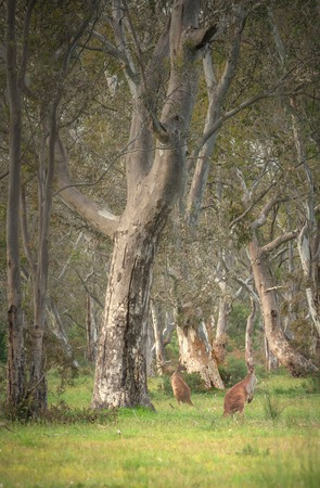Wild kangaroos hopping through the Australian Bush