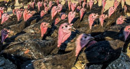 turkey cock: Flock of turkeys being herded through the village