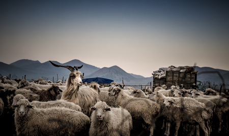 flock of sheep: Beautiful image of a herd of sheep in the mountains