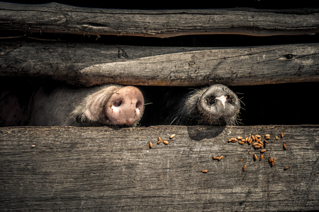 poking: Pig snouts poking through the wooden enclosure