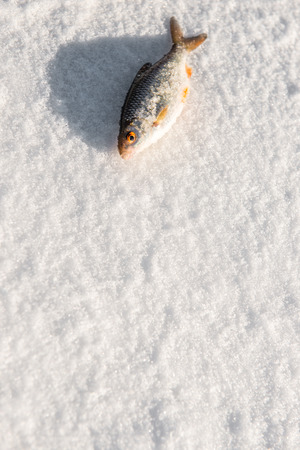 Freshly caught fish laying on the ic Stock Photo