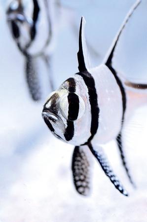 aquarist: The Banggai Cardinalfish Stock Photo