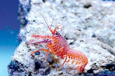 aquarist: Pink Reef Lobster