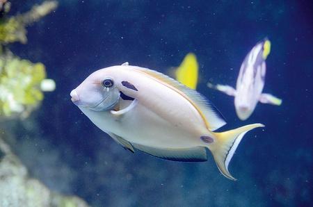 aquarist: The Doubleband Surgeonfish