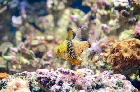 aquarist: The Pyjama Cardinalfish  Stock Photo