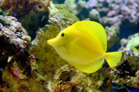 flavescens: Yellow Tang