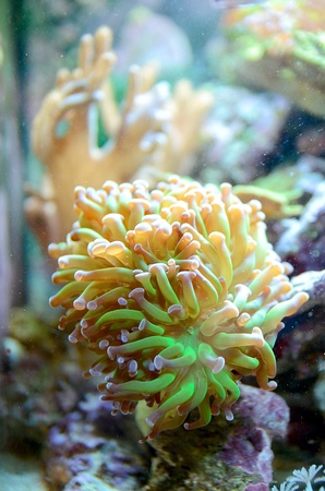 branching coral: Branching Hammer Coral