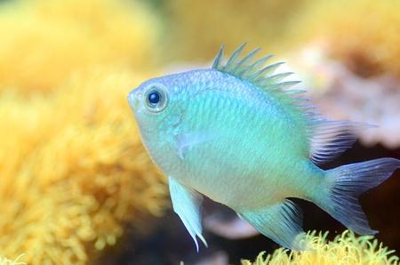 aquarist: The Green Chromis Stock Photo