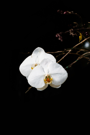 yellow orchid: White orchid on black background. Stock Photo