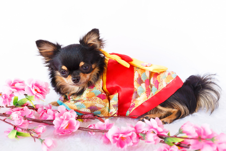 studio portrait: Female Chihuahua dog wearing traditional Kimono with Sakura flower.