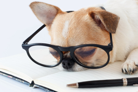 sleeping pad: Chihuahua Officer dog in eyeglasses with a note pad and pen sleeping at work.