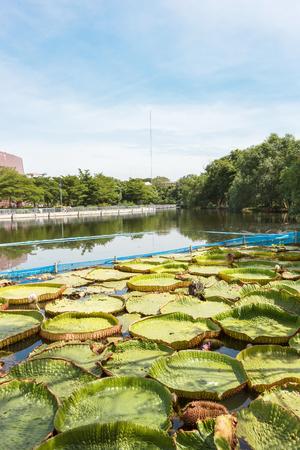 tropical garden: View of lotus garden in the park. Stock Photo