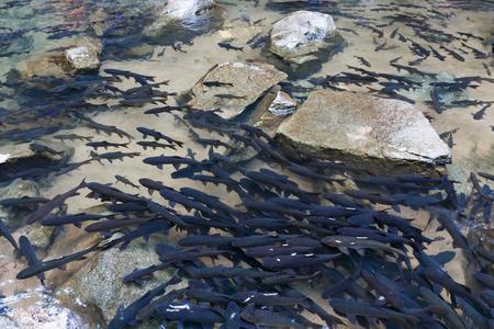 Many Mahseer Barb fish at Phlio waterfall in Chanthaburi, Thailand.