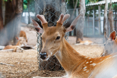 Spotted deer, chital, in cage and looking camera.