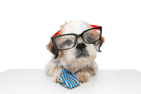 poodle mix: Business dog, Shih tzu, Poodle mix wearing eyeglasses and blue tie on white background isolated.