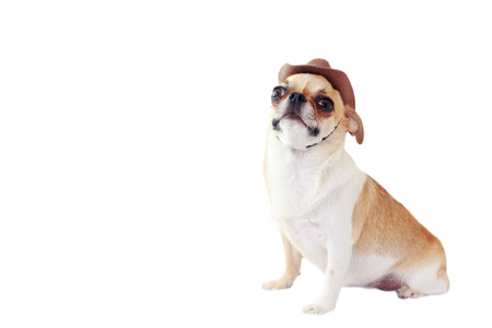 Cute chihuahua dog wearing cowboy hat on white background isolated with copy space.
