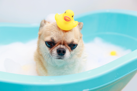 Chihuahua dog taking a shower with duck toys in blue bucket.