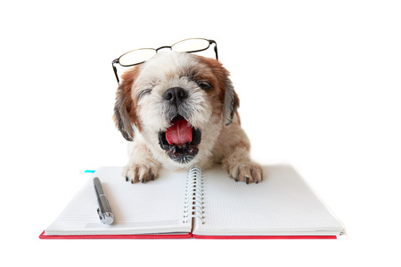 Shih tzu, poodle mix yawn to lazy with book and pen on table.
