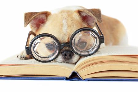 El perro de Chihuahua lleva los vidrios del empollón para el libro leído.