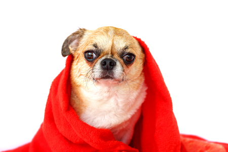 Chihuahua dog rub the body dry with red towel.