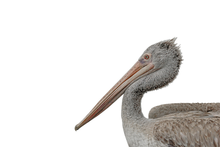 Pelican on white background, Isolated.