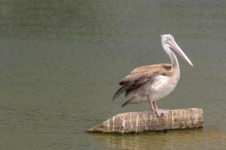 Pelican bird in the lake.