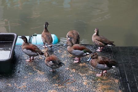Group of Thai duck in farm.