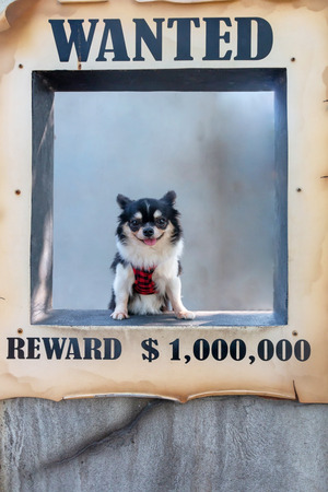 Shot of wanted chihuahua dog.