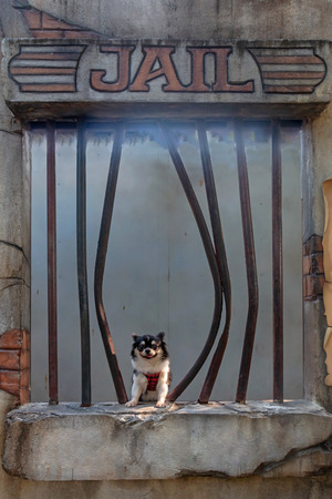 Chihuahua dog in jail background.