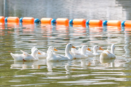 Group of white ducks swimming in the lake.