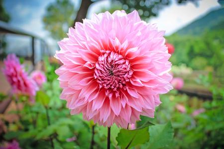 Single pink flower in the garden.