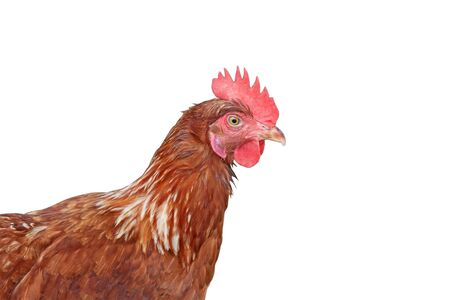 Head of hen on white background, isolated.