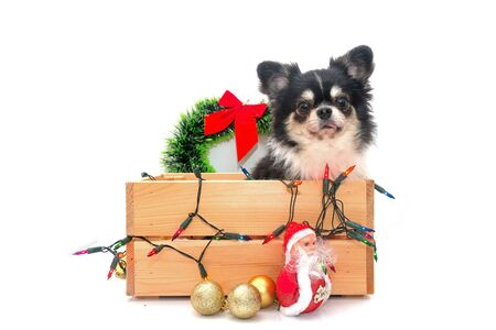 Chihuahua dog with Christmas box and decoration. Foto de archivo - 133403628