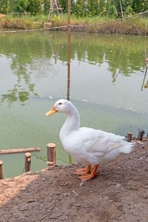 A white duck stand near the pond. Imagens