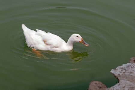 A white duck swim in the pond. Imagens