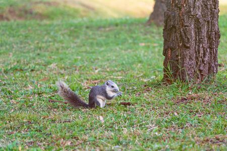 A grey squirrel sit on the grass in forest.