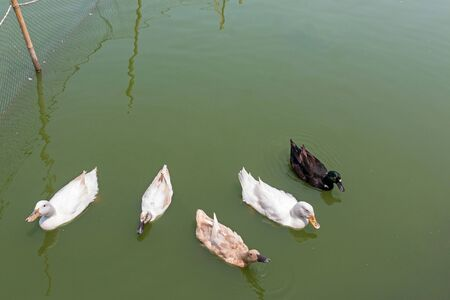 Group of duck swims in a green pond.