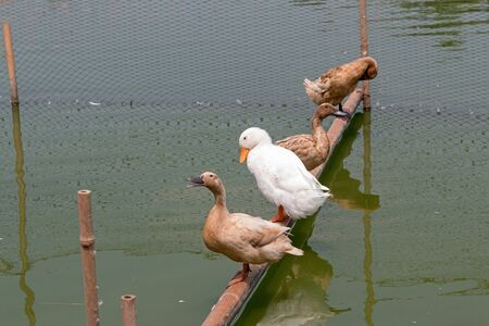 Group of duck stands on the timber in a green pond.
