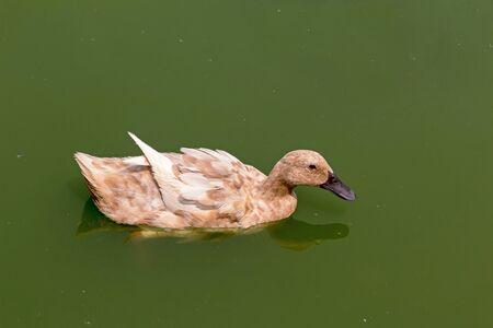 A brown duck swim in a pond. Reklamní fotografie