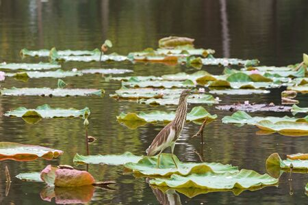 Bird stands on lotus leaf in the pond.