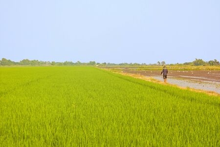 Landscape of paddy rice field with farmer.