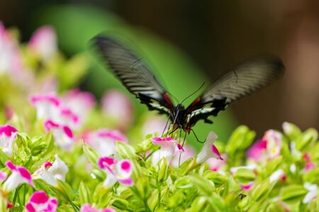 Motion blur blck butterfly is flying.