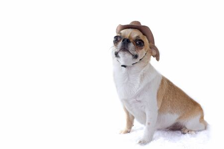 Chihuahua dog wear cowboy hat on white background, isolated. Reklamní fotografie