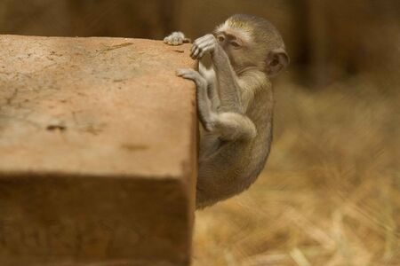 Monkey Never Gives Up   photo