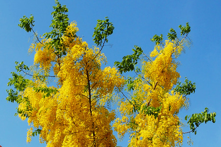 tropica: Cassia fistula flower