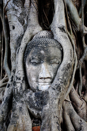 Buddhas head is embedded in tree roots a beautiful ancient site in Wat Mahathat Ayutthaya as a world heritage site Thailand