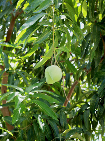 thee: Green Mango On Thee Of Thailand